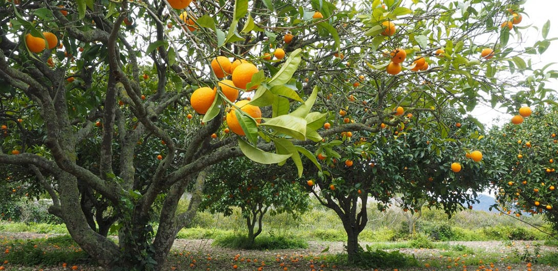 orange plantation-crop-u19562